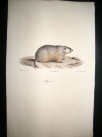 Saint Hilaire & Cuvier C1830 Folio Hand Colored Print. Groundhog
